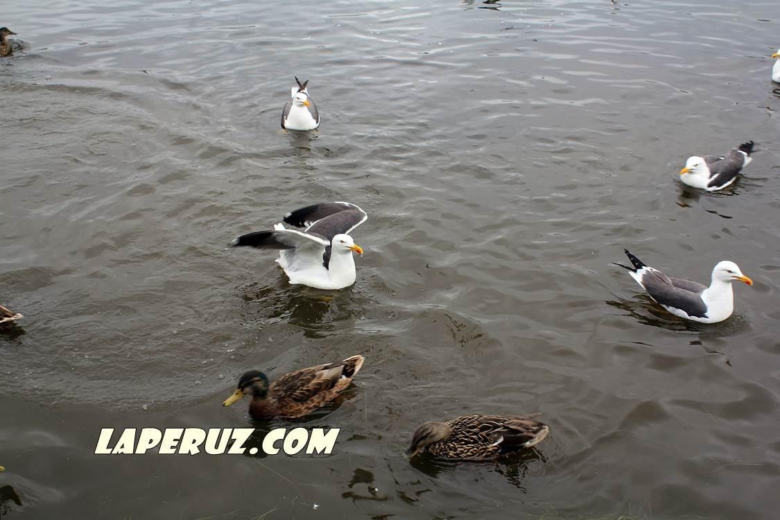 tjornin_birds_1