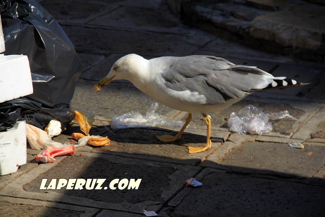 venecian_seagull