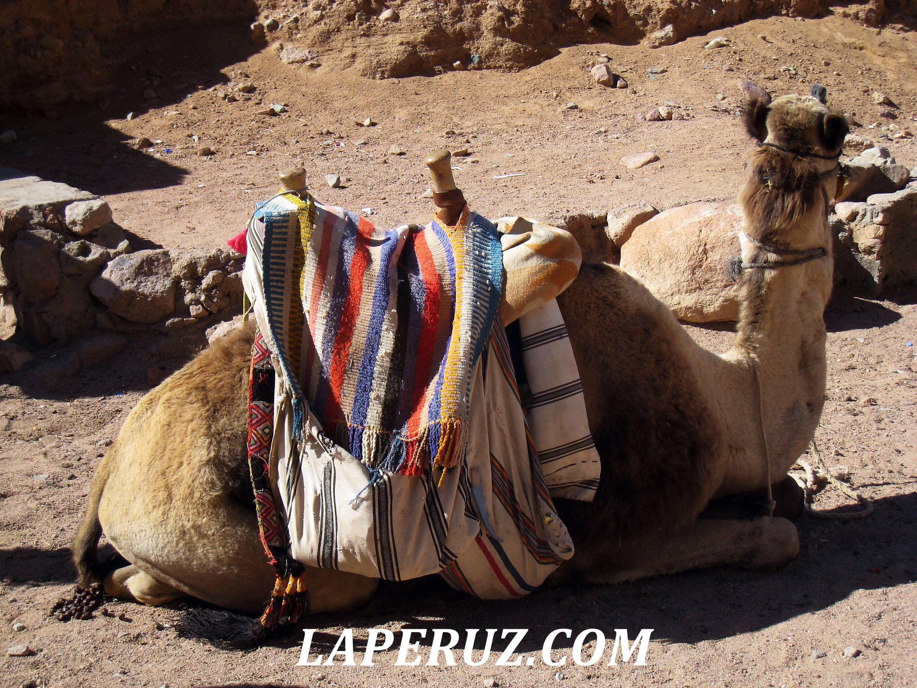 egypt_verblud
