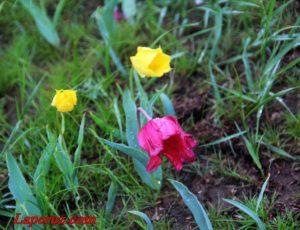 Туризм по-саратовски: как фестиваль тюльпанов стал фестивалем грязи