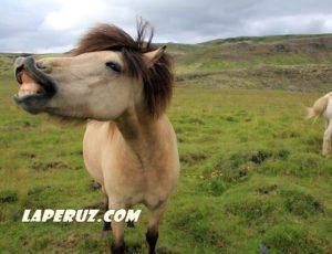Идеальная прогулка на исландской лошади