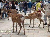 Нара. Большой Будда и наглые священные олени
